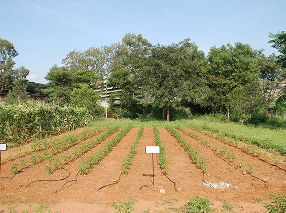Green chilly cultivation in India with borewell water - structured water experiment - use of structured water against borewell water in agriculture