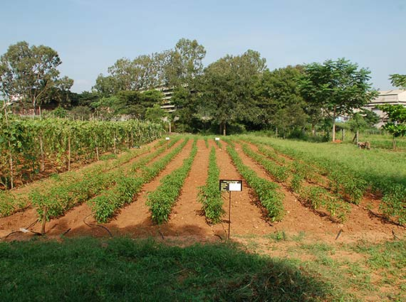 Dense green chilly plants grown using Crystal Blue structured water devices for agriculture - water structuring unit doubled the yield of green chilies