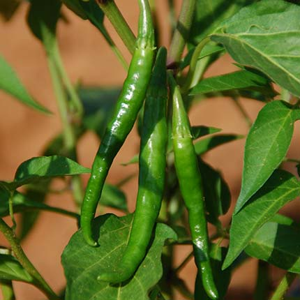 3 green chilies hung on a plant grown using Crystal Blue India's structured water devices - water structuring units for agriculture
