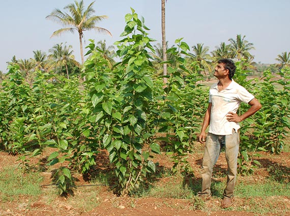 Farmer standing next to the tall mulberry plants grown using Crystal Blue structured water devices in the crop field - structured water in agriculture