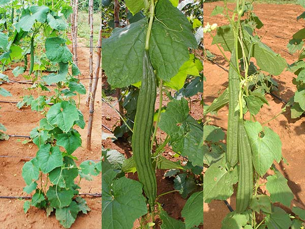 green ridge gourd cultivation with borewell water for a test of farming with Crystal Blue structured water devices