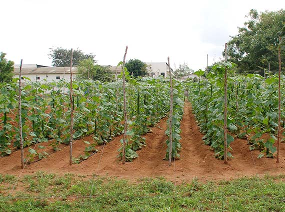 ridge gourd plants being cultivated using borewell water for testing against structured water devices