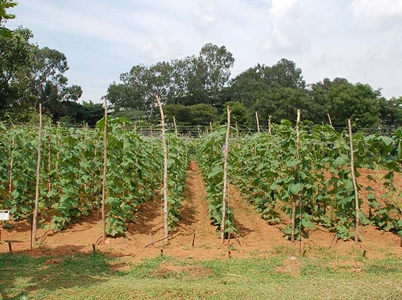 ridge gourd farming using Crystal Blue's structured water units being tested against borewell water