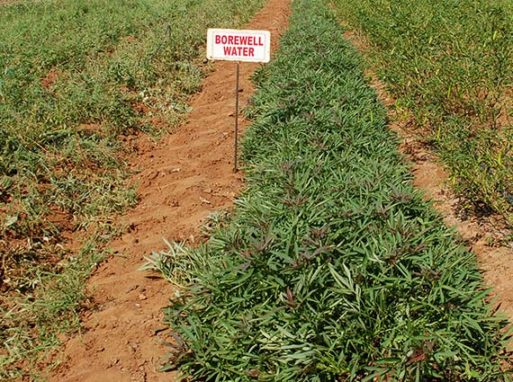 Sweet potato plant cultivation in India with hard borewell water to experiment with structured water