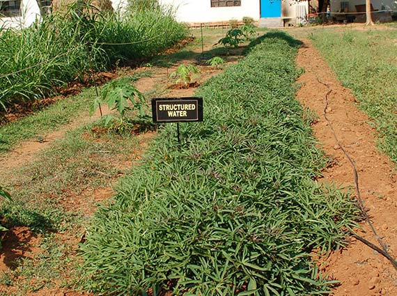 Dense sweet potato plants are grown using Crystal Blue structured water devices - natural water softeners for agriculture