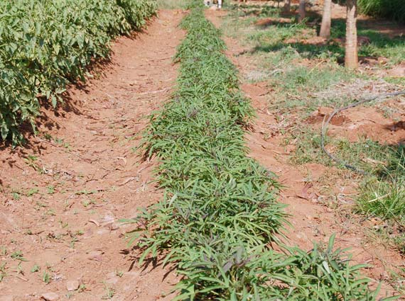A row of sweet potato plants being grown in India with hard borewell water to experiment with structured water