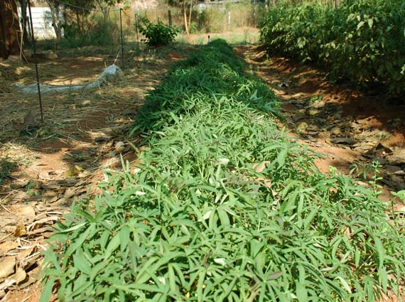 A row of dense sweet potato plants grown using Crystal Blue structured water devices - water softeners for agriculture