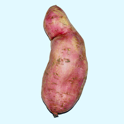 Bigger sweet potato grown with Crystal Blue's portable structured water devices for agriculture