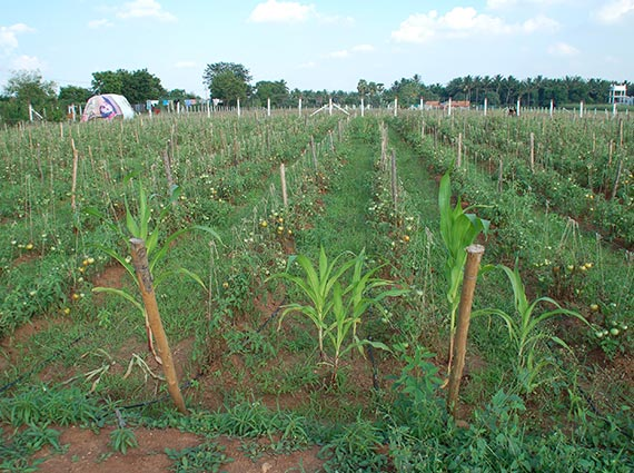 Denser tomato plants growing with Crystal Blue structured water devices in agriculture and farming