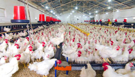 Poultry farm with broiler chickens - use of structured water in poultry farming - structured water devices