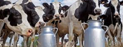 healthy cattle, cows with cans of milk - milk production farming with structure water