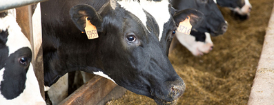 feeding cows - milk production & dairy farming with structured water units