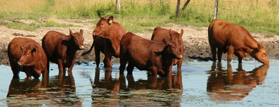 brown cows in lake - structured water for farms in India - water implosion technology
