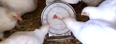 Chickens, hens with weight scale - water structuring units benefit in increased weight of poultry