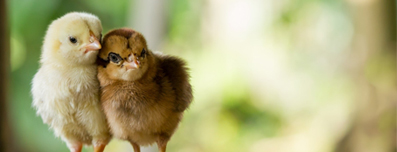 yellow and brown chicks - Crystal Blue's water structuring units improve feather & coloratio quality of poultry